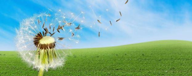 dandelion seeds blowing in wind