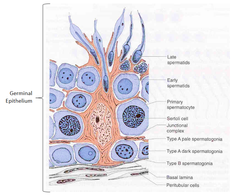 germinal epithelium