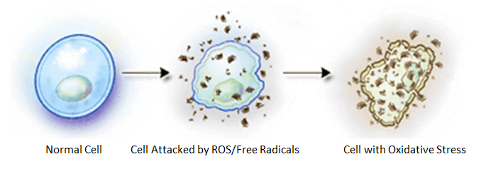 cell damage from free radicals
