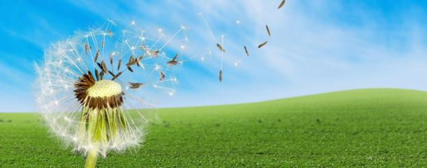 dandelion seeds blowing in wind